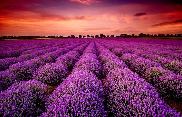 cánh đồng hoa oải hương đẹp nhất thế giới 21