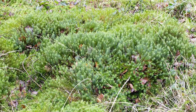 Polytrichum commune, Common Haircap.  Keston Common, 6 March 2016.