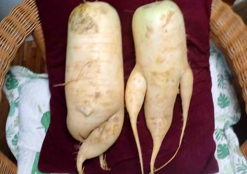 male and feemale-looking radishes