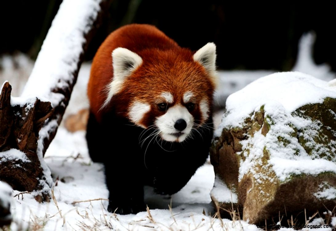 Aninimal Book: Cute Red Panda In Snow | Amazing Wallpapers