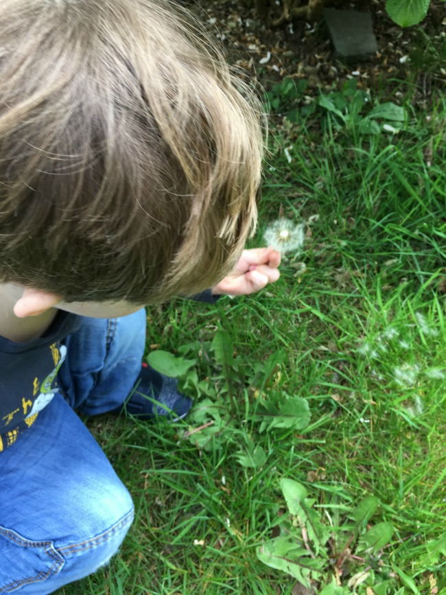 Our-weekly-journal-shopping-and-ants-toddler-looking-at-dandelion-clock-in-a-garden