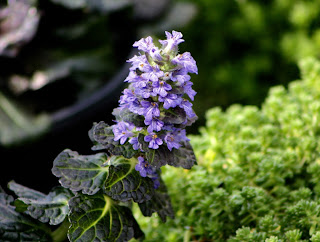 Ajuga bloom