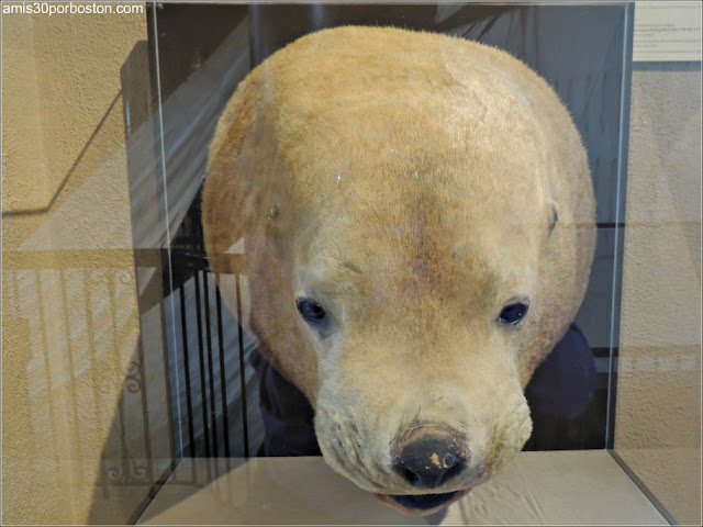 León Marino en el New Bedford Whaling Museum
