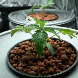 tomat hidroponik sistem wick