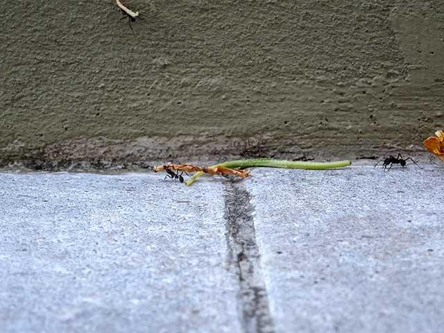 hormiga negra transportando una hoja , segunda en busca de la suya.