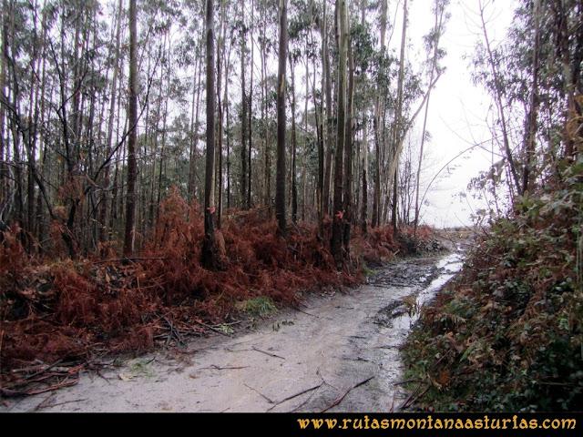 Prado Marqués: Camino entre eucaliptos