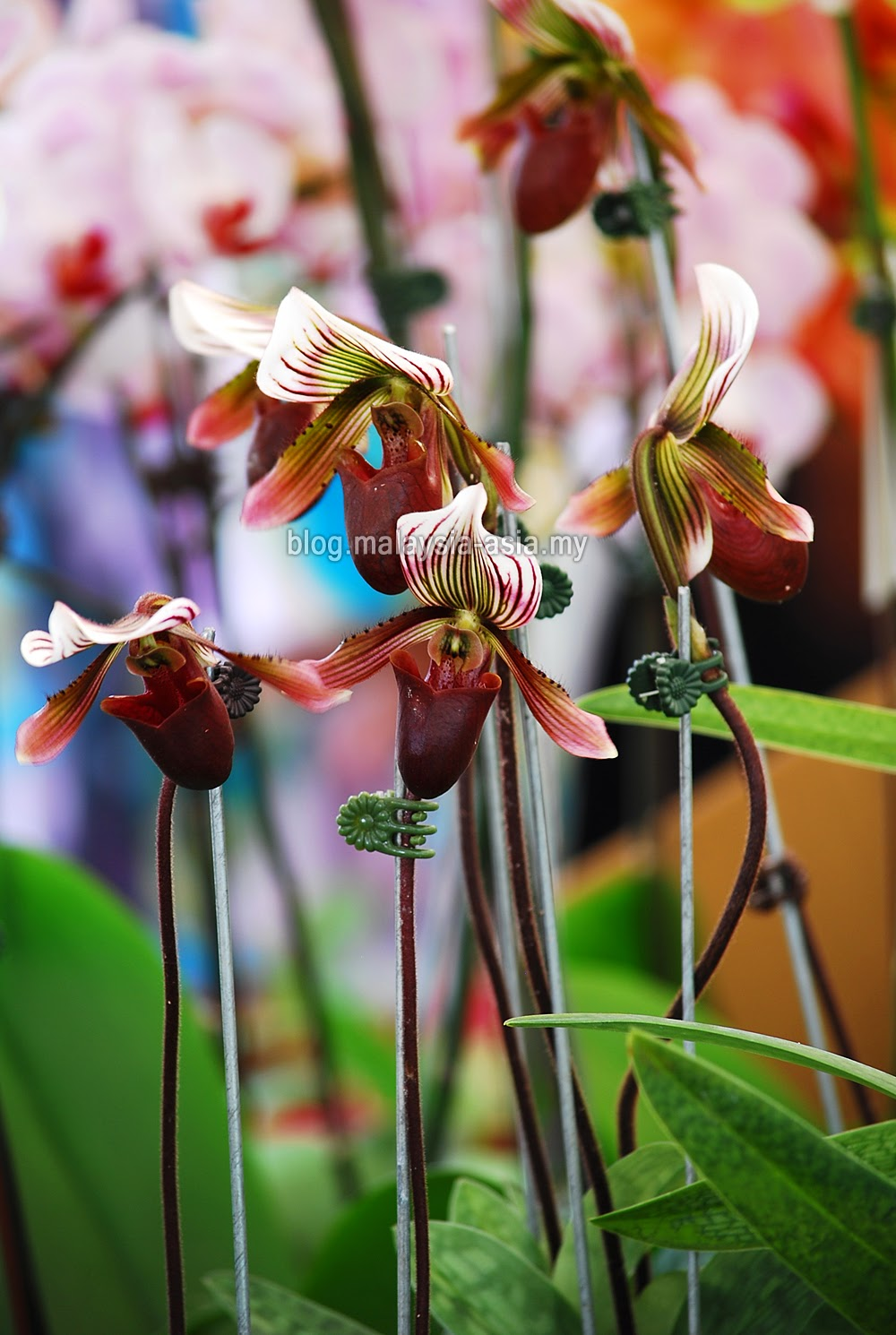 Malaysia Slipper Orchid