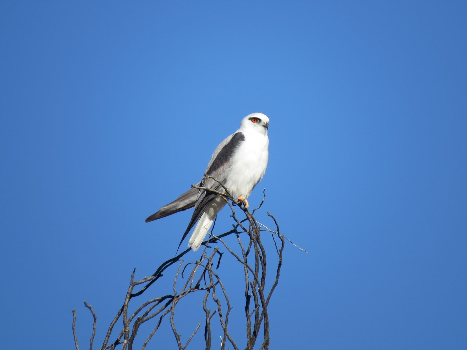 Moses Waring S Birds Of Australia Black Shouldered Kites