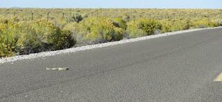 Crotalus oreganus lutosus, Great Basin Rattlesnake