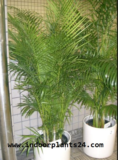 Chrysalidocarpus Lutescens Palmae BUTTERFLY PALM indoor Plant image