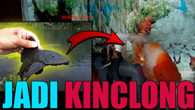 Ikan Sapu Jagat: Si Pembersih Kaca Aquarium Ikan Mas Koki - Bersih, Kinclong Tanpa Sikat