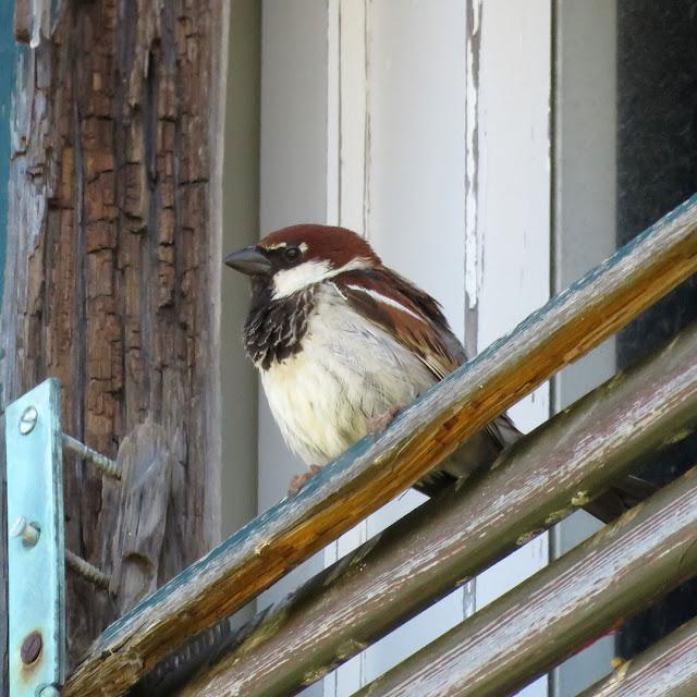 Sparrow, Spianata del Molo Mediceo, Livorno