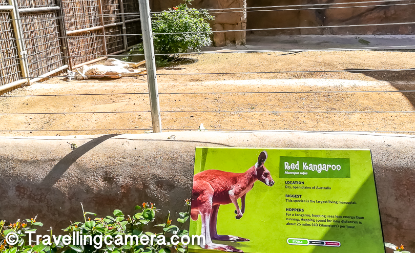 Red Kangaroo was enjoying the sleep when we were walking through his area in San Diego Zoo. Lot of kids were eagerly waiting for this Red Kangaroo to get up and show them the walk on 2 legs :).