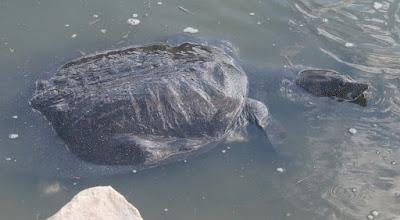 Nile Softshell Turtle (Trionyx triunguis)