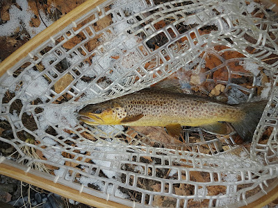 Brown Trout Fly Fishing MA