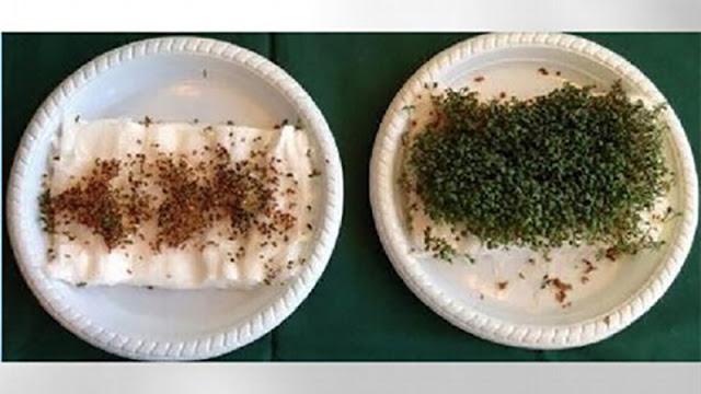 radiatiile wi-fi dezechilibreaza cresterea si dezvoltarea plantelor
