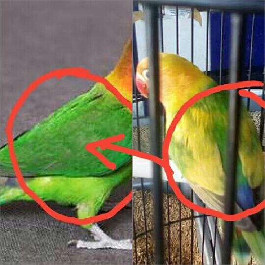 4 Ciri Burung Lovebird Blorok Palsu ( Warna Semiran