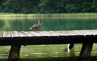 duck on lake bridge widescreen resolution hd wallpaper
