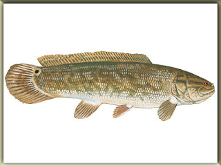 Bowfin Fish Pictures