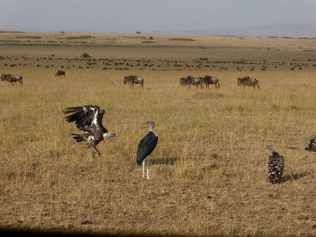 Buitres y Marabú en Masai Mara