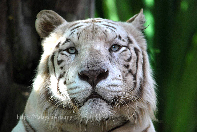 Bali White Tiger Photo