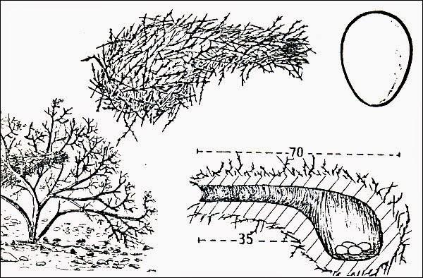 nidos de Cacholote