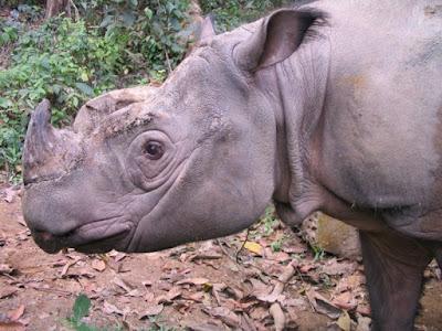 Offspring for Sumatran rhinos