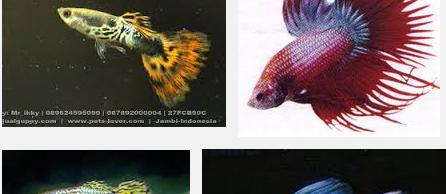 Jenis Ikan Guppy Paling Cantik dan Termahal Serta Mudah Perawatannya