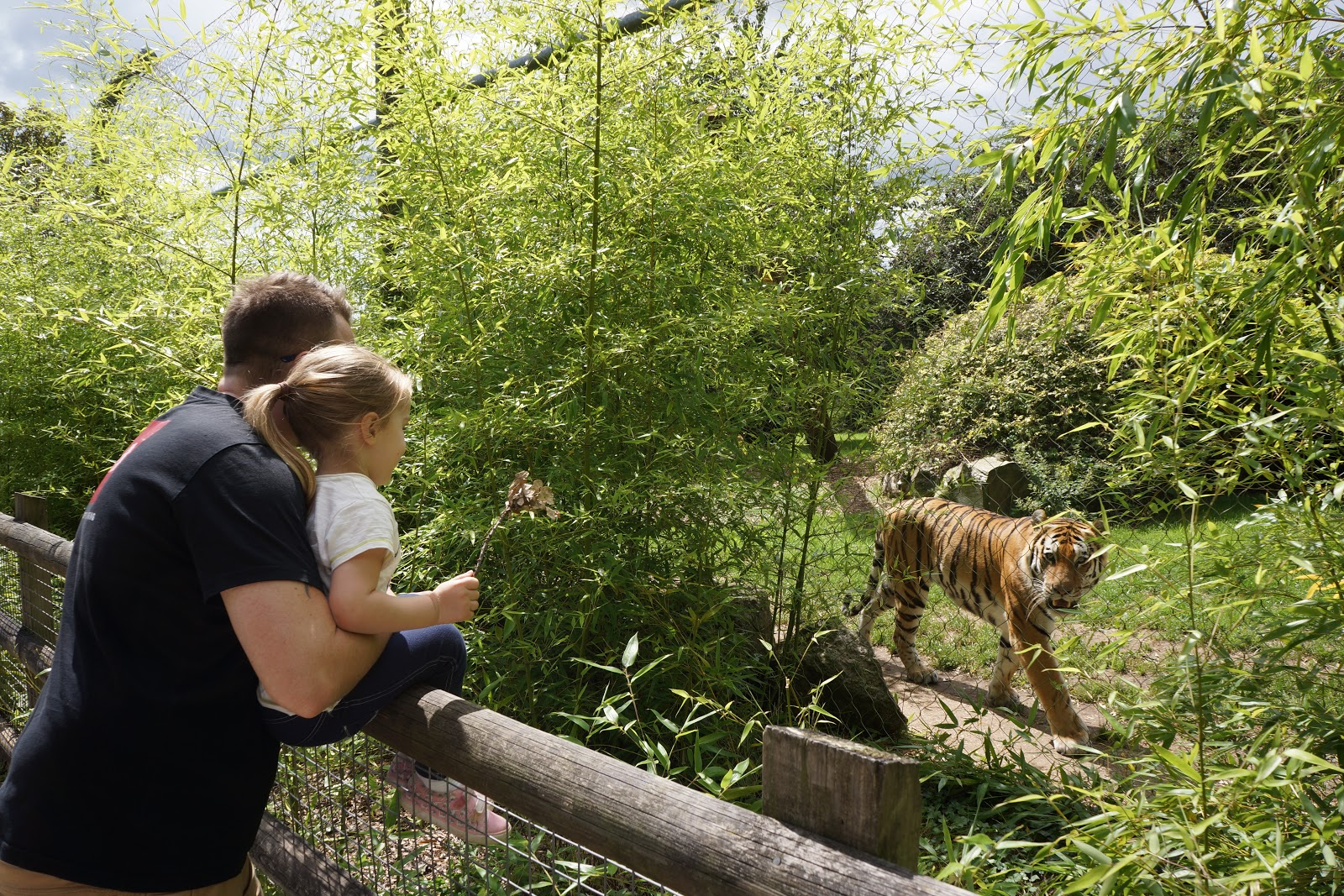 tiger walking past a dad and daughter
