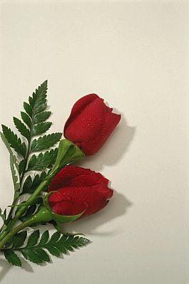Banco De Imagenes Y Fotos Gratis Fotos De Rosas Rojas Parte 1
