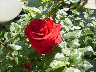 Τριαντάφυλλλο κόκκινο και ζωηρό