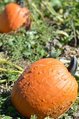 northern-virginia-pumpkin-patch