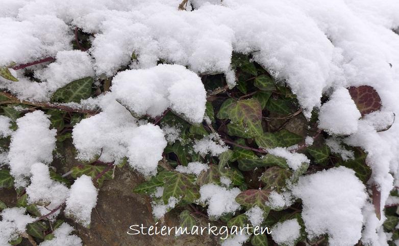 Jännergarten-Efeu-Steiermarkgarten