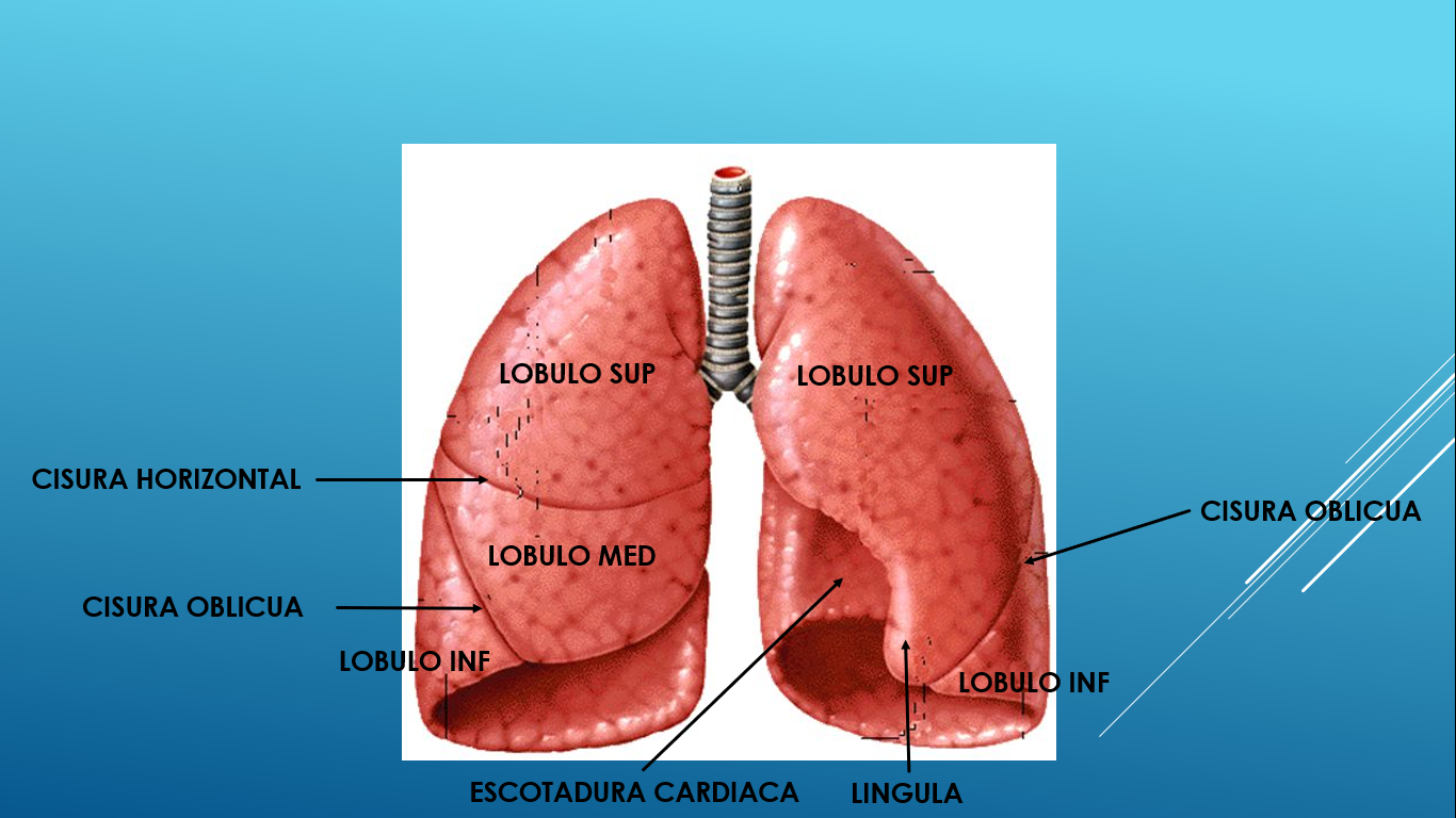 ANATOMIA DOS: PULMONES