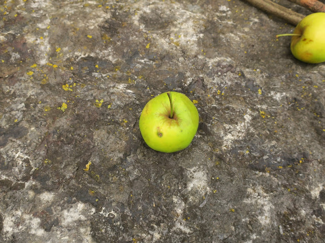 Apple fallen from a tree onto a rock in a car and lorry stop-off car-park in Somerset.