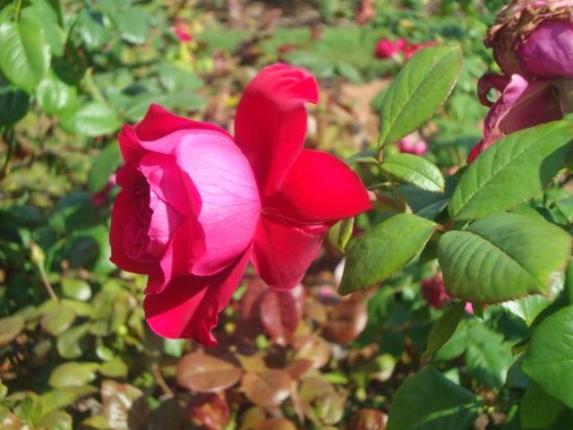Flores do Rosedal - Buenos Aires