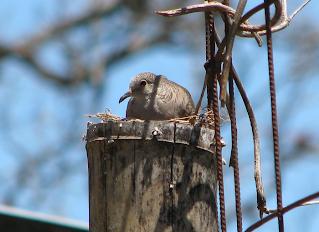 Inca Dove in nest