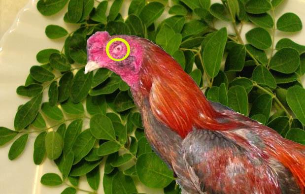 Cara Alami Mengobati Luka Mata pada Ayam Bangkok Aduan