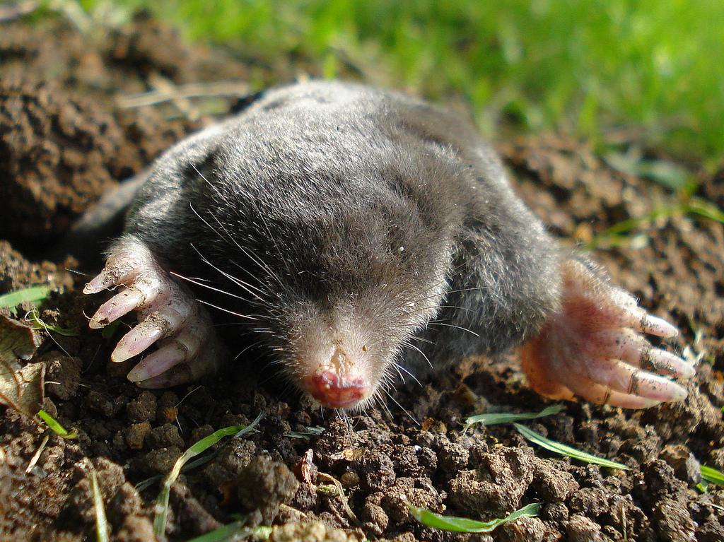 Animal idioms k m for La talpa animale