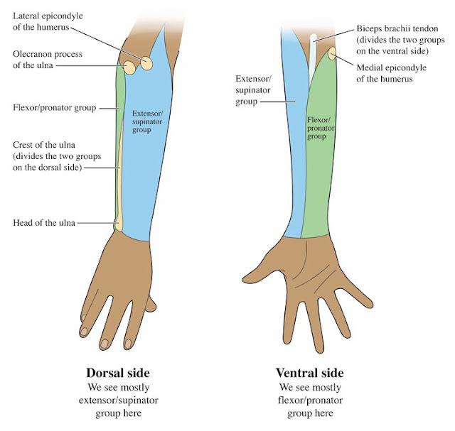 Palmar Hand Muscle Anatomy Diagram Website Tree Human For The Artist: A Banjo Player's Forearm: Let's Get Lost!