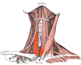 sternothyroid muscle, anatomy, muscle picture