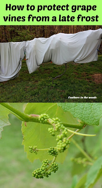 how to protect grapevines form frost