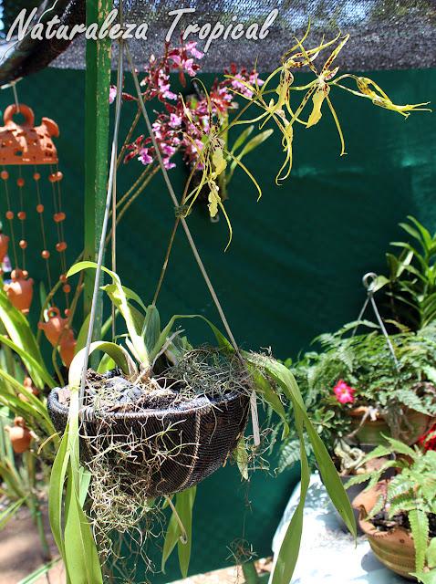 Vista de la orquídea Brassia `Rex´ en maceta