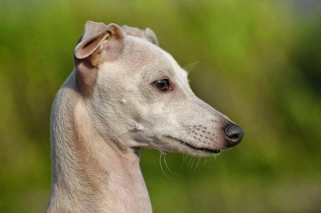 Jak rozpoznać raka u psa-symptomy choroby