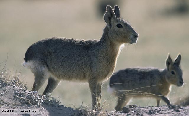 Patagonian Mara | Fun Animals Wiki, Videos, Pictures, Stories