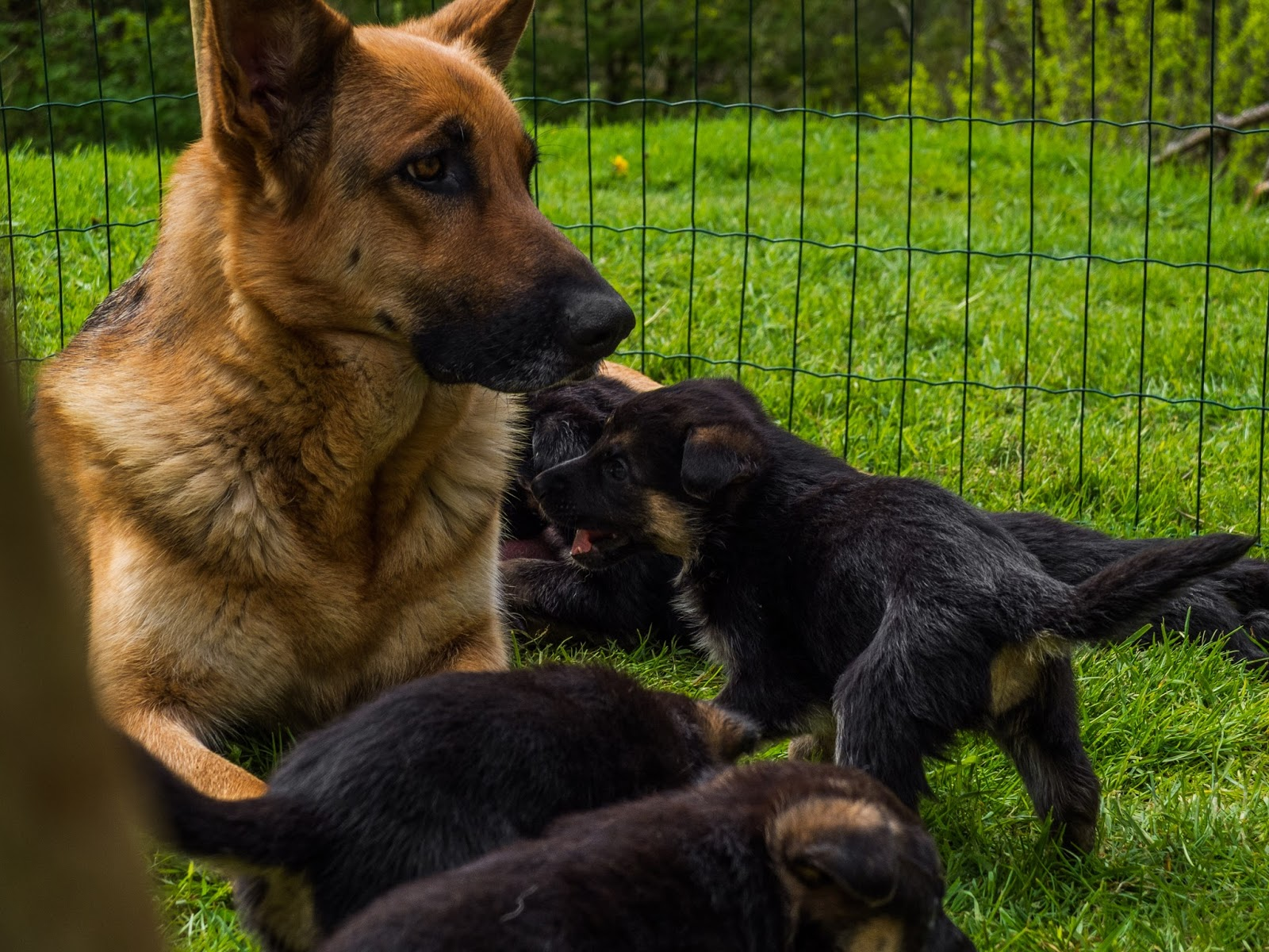 Month old German Shepherd puppy about to bite mom.