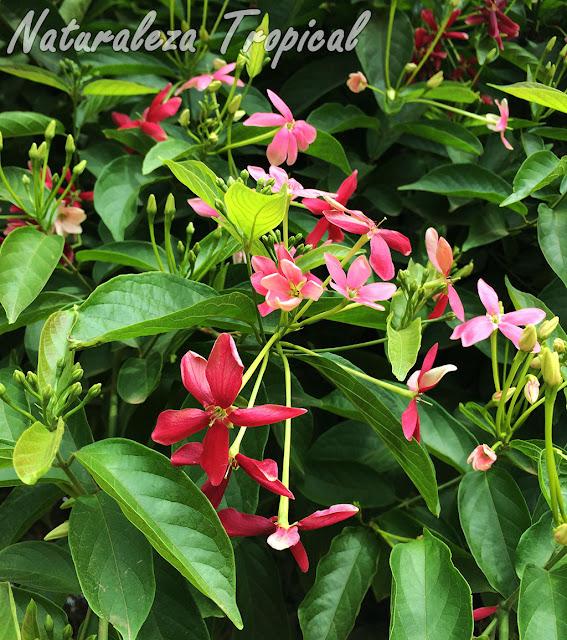 Otra imagen de la planta trepadora Piscuala, Combretum indicum