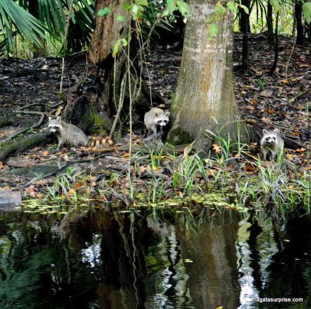 Guaxinins em um pântano próximo a Nova Orleans