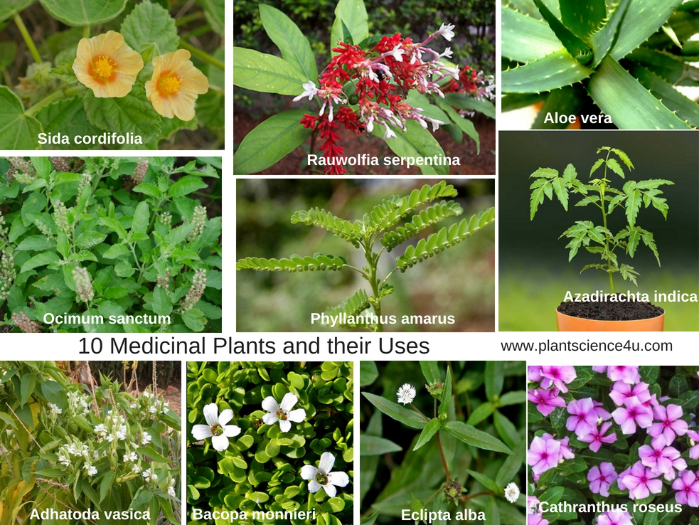 10 Medicinal Plants and their Uses with Pictures