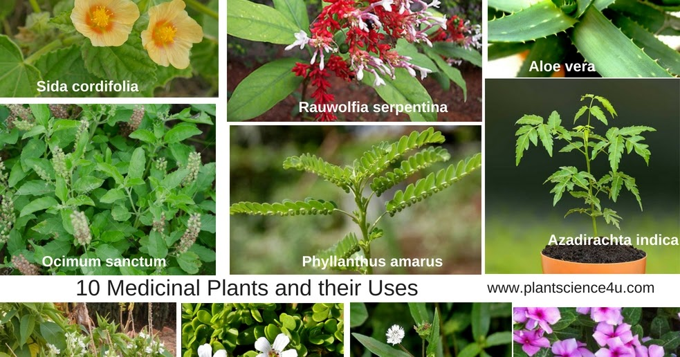 10 Medicinal Plants and their Uses with Pictures | Plant